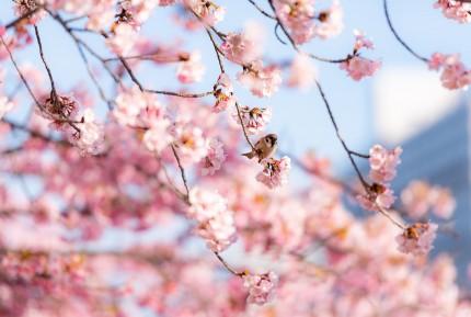 cherry-blossom-6068004_1920